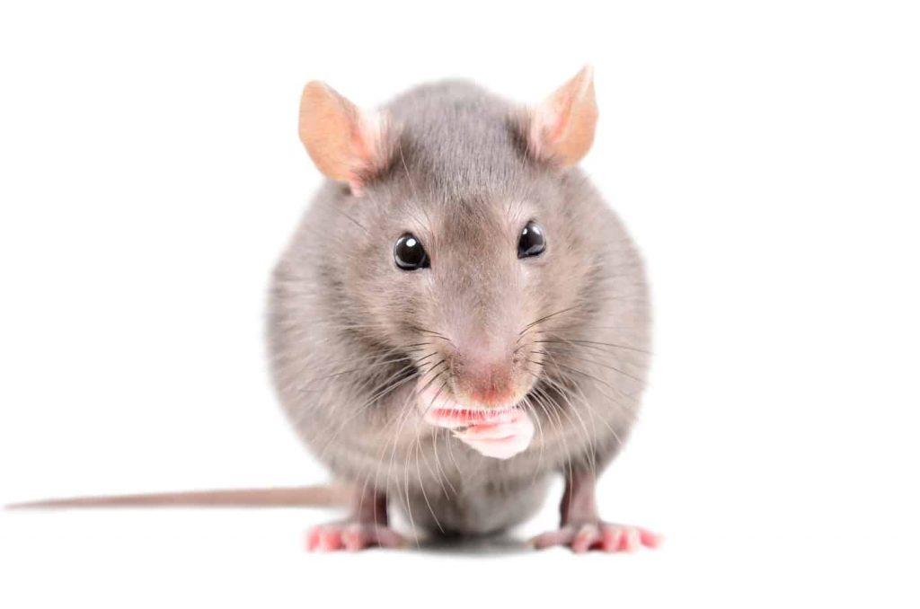 rats services